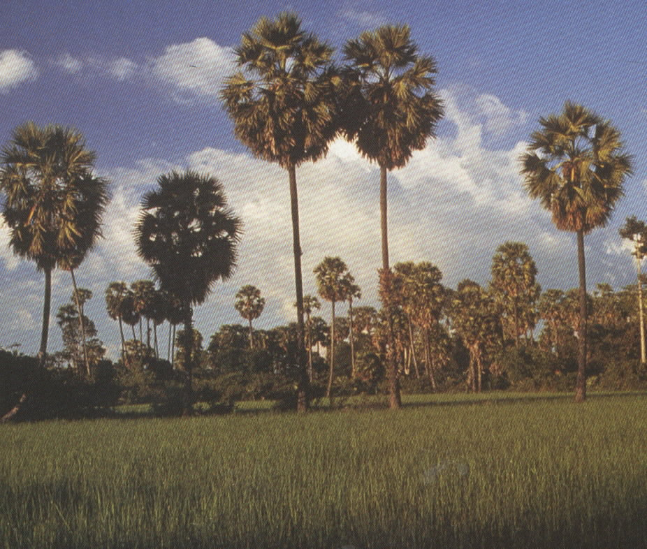 Rice paddy with sugar palms in the background